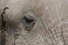 Plan rapproché d'un visage et d'un oeil d'éléphant africain Photographie stock libre de droits