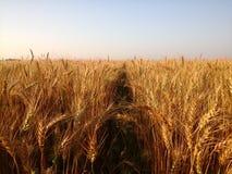 Plan rapproché d'un wheatfield Image stock