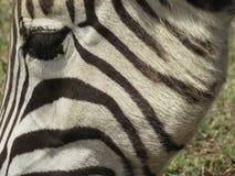 Plan rapproché d'un zèbre Image libre de droits