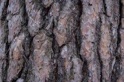 Plan rapproché d'une écorce de pin dans les bois Photographie stock