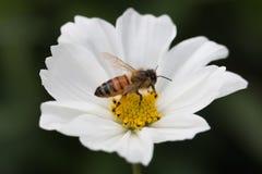 Plan rapproché d'une abeille à l'intérieur d'un whiteflower Photographie stock libre de droits