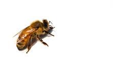 Plan rapproché d'une abeille Photo libre de droits