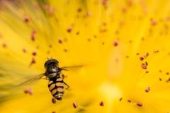 Plan rapproché d'une abeille au-dessus d'une fleur jaune Images libres de droits