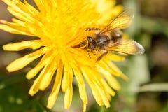 Plan rapproché d'une abeille couverte dans le pollen à l'intérieur d'un pissenlit jaune Photo stock