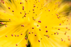 Plan rapproché d'une abeille planant au-dessus d'une fleur jaune Photographie stock libre de droits
