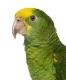 Plan rapproché d'une Amazone à tête jaune (6 mois) Photo libre de droits