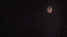 Plan rapproché d'une araignée sur le Web clips vidéos