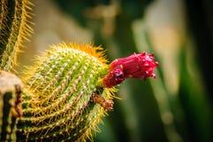 Plan rapproché d'une belle fleur de cactus d'offre de rose et d'une plante en épi épineuse verte Images stock