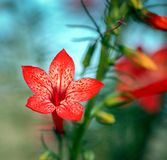 Plan rapproché d'une belle fleur debout de rubra d'Ipomopsis de cyrpess sur un fond brouillé Images stock