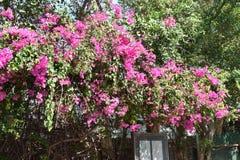 Plan rapproché d'une belle fleur rose dans un jardin en Thaïlande Photos libres de droits