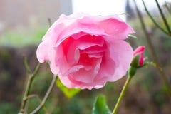 Plan rapproché d'une belle rose de rose dans le jardin image stock