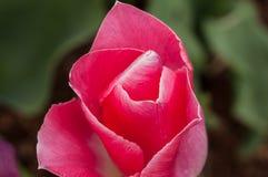 Plan rapproché d'une belle tulipe rose Image stock