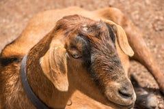 Plan rapproché d'une chèvre brune Images stock
