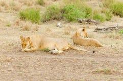 Plan rapproché d'une fierté de lion photographie stock