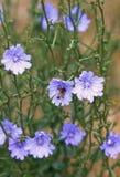 Plan rapproché d'une fleur bleue de chicorée avec une abeille Image stock