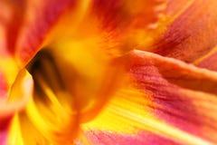 Plan rapproché d'une fleur colorée de lis photos libres de droits