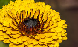 Plan rapproché d'une fleur de Calendula dans un jardin Images libres de droits