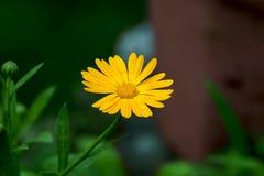 Plan rapproché d'une fleur de Calendula (souci) dans un jardin Image stock