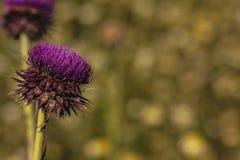 Plan rapproché d'une fleur de chardon avec le fond unfocused image stock