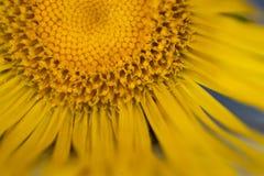 Plan rapproché d'une fleur de grande aunée Photo stock