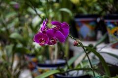 Plan rapproché d'une fleur de Las Palmas de Phalaenopsis photo stock