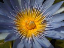 Plan rapproché d'une fleur de lotus Images libres de droits