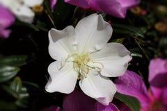 Plan rapproché d'une fleur de manaca Images stock