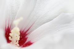 Plan rapproché d'une fleur de mauve blanche photographie stock libre de droits