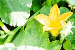 Plan rapproché d'une fleur jaune de courgette Horticulture de potiron au sol image stock