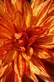 Plan rapproché d'une fleur jaune-rouge de dahlia du type décoratif formel photo stock