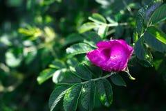 Plan rapproché d'une fleur pourpre sur une branche verte Images libres de droits