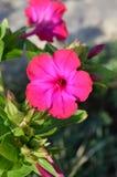 Plan rapproché d'une fleur rose de Jalapa de Mirabilis, merveille du Pérou, fleur d'horloge de ` de quatre o, macro, nature image libre de droits