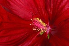 Plan rapproché d'une fleur rouge foncé de ketmie Photographie stock libre de droits