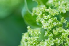 Plan rapproché d'une fleur verte de boule de neige Photo stock