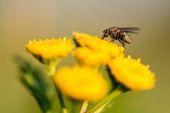 Plan rapproché d'une grande mouche sur une fleur Images libres de droits