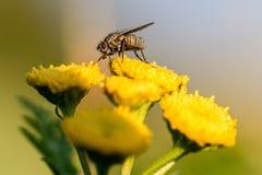 Plan rapproché d'une grande mouche sur une fleur Photos stock