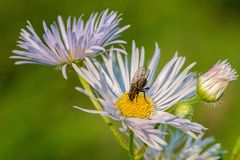 Plan rapproché d'une grande mouche sur une fleur Photographie stock