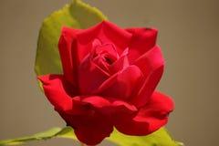 Plan rapproché d'une grande rose de couleur rouge Photographie stock libre de droits