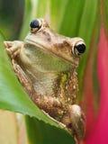 Plan rapproché d'une grenouille d'arbre cubaine sur un bromélia Image stock