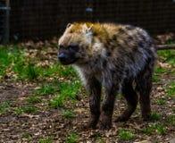 Plan rapproché d'une hyène repérée, hyène riante des déserts de l'Afrique photographie stock