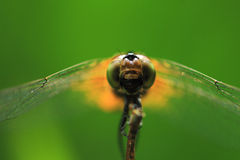 Plan rapproché d'une libellule Photographie stock
