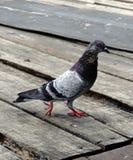 Plan rapproché d'une marche grise de pigeon Image libre de droits