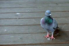 Plan rapproché d'une marche grise de pigeon Image stock
