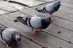 Plan rapproché d'une marche grise de pigeon Photographie stock