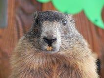Plan rapproché d'une marmotte Images libres de droits