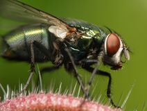 Plan rapproché d'une mouche photographie stock libre de droits