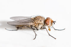 Plan rapproché d'une mouche avec les yeux bruns Photographie stock