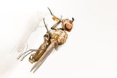 Plan rapproché d'une mouche avec les yeux bruns et son ombre Image libre de droits