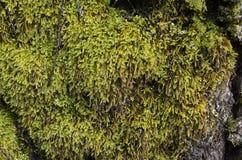 Plan rapproché d'une mousse verte sur un arbre Photos libres de droits