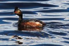 Plan rapproché d'une natation de grèbe à oreilles dans l'eau onduleuse Images libres de droits